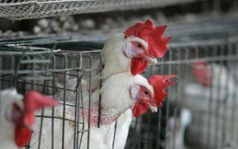 Waspada Flu Burung
