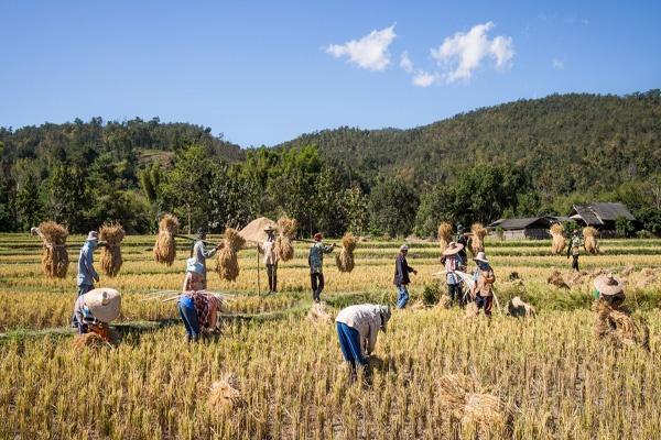 Produksi Beras Bolmong Capai Ratusan Ton Perhari