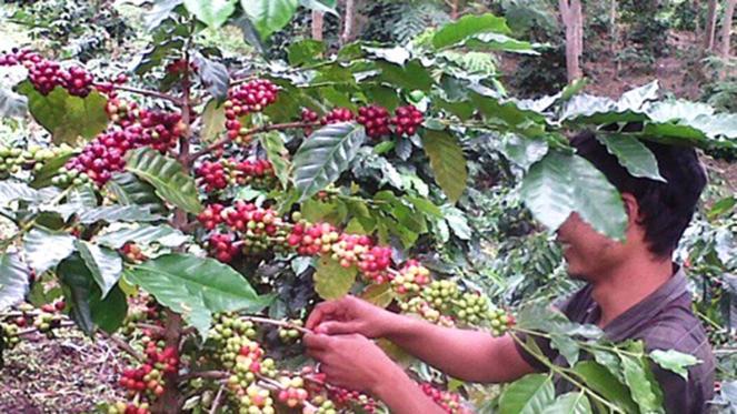 Pemkab Boltim Siapkan Bantuan Untuk Petani Kopi