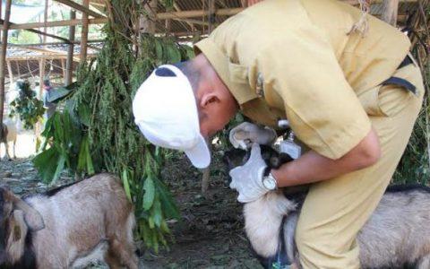 pemeriksaan hewan ternak