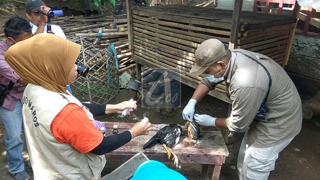 Kasus Flu Burung Mulai Mewabah di Kotamobagu. 200 Ekor Ayam Mati Mendadak