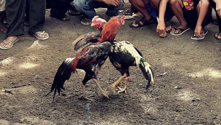 Judi Sabung Ayam di Kotamobagu Makin Terbuka. Diduga Dibackup Oknum Aparat