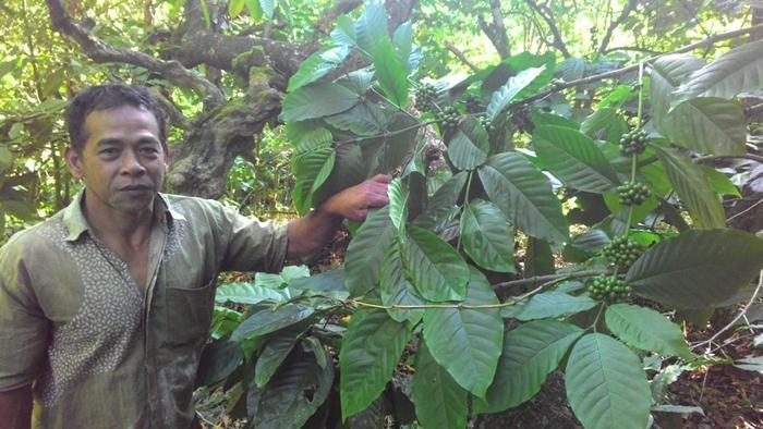 Kopi Kotamobagu Dicari Pasar Dunia, Tapi Produksinya Kurang