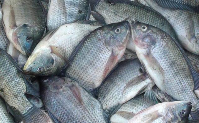 Potensi Pengembangan Ikan Air Tawar di Kotamobagu Menjanjikan
