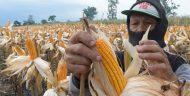 Harga Anjlok, Petani Jagung di Boltim Mengeluh