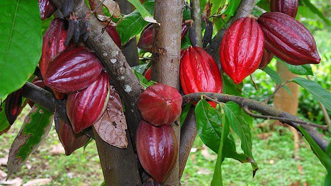 Lima Ribu Bibit Kakao Siap Disalurkan Untuk Petani di Boltim