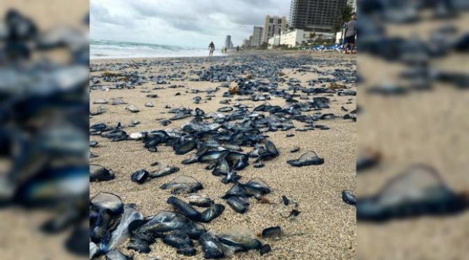 Ribuan 'Makhluk Biru' Menyerbu Pantai Florida