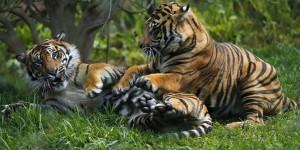 habitat-dibabat-harimau-sumatera-di-sumsel-tersisa-20-an-ekor