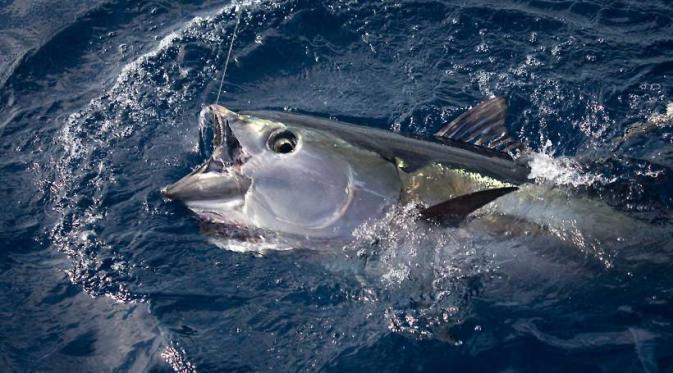 Seharga Alphard, Ikan Ini Paling Diburu Kapal Asing di Laut RI