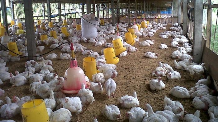 Melihat Sektor Usaha Ayam Potong Jelang Bulan Ramadhan Totabuan Co